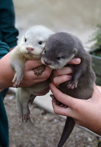 OMG Baby Otters