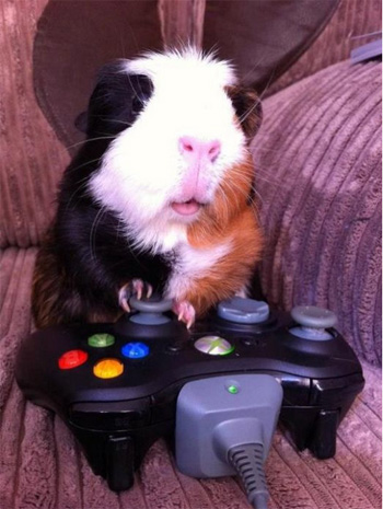Gamer Guinea Pig