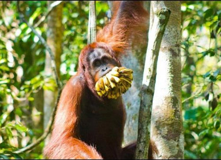 Banana-mouthed orangutan