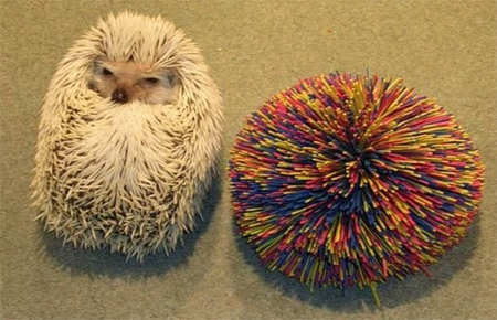 Hedgehog lookalike